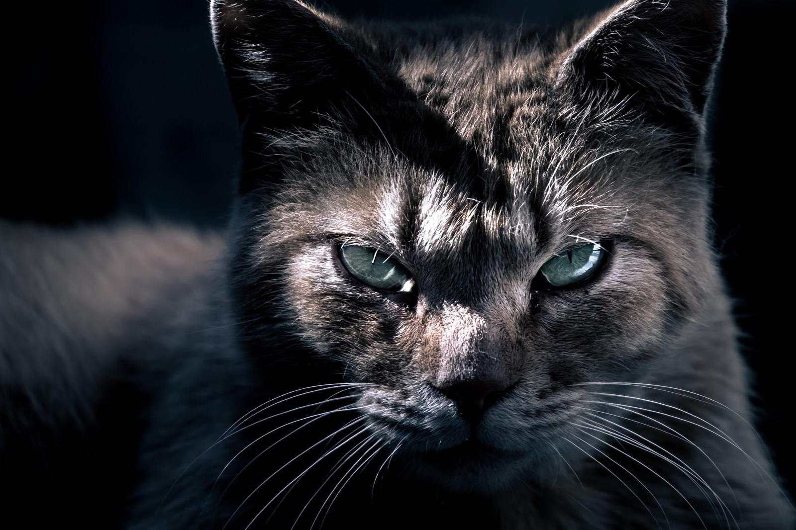 「眼光の鋭い猫眼光の鋭い猫」のフリー写真素材を拡大