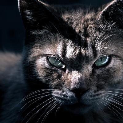 「眼光の鋭い猫」の写真素材