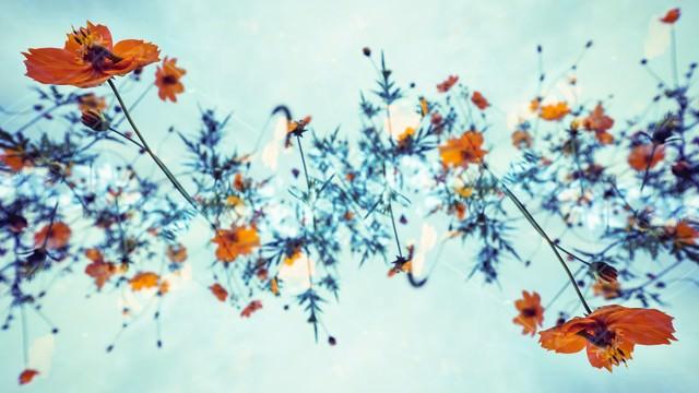 秋桜の螺旋の写真