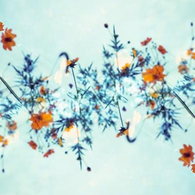 「秋桜の螺旋」の写真素材