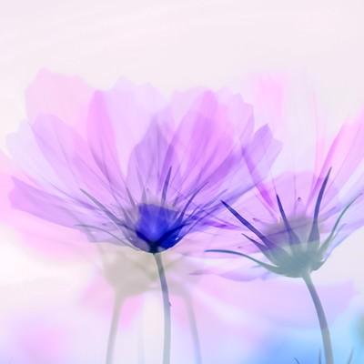 かさなりあうコスモスの花(フォトモンタージュ)の写真