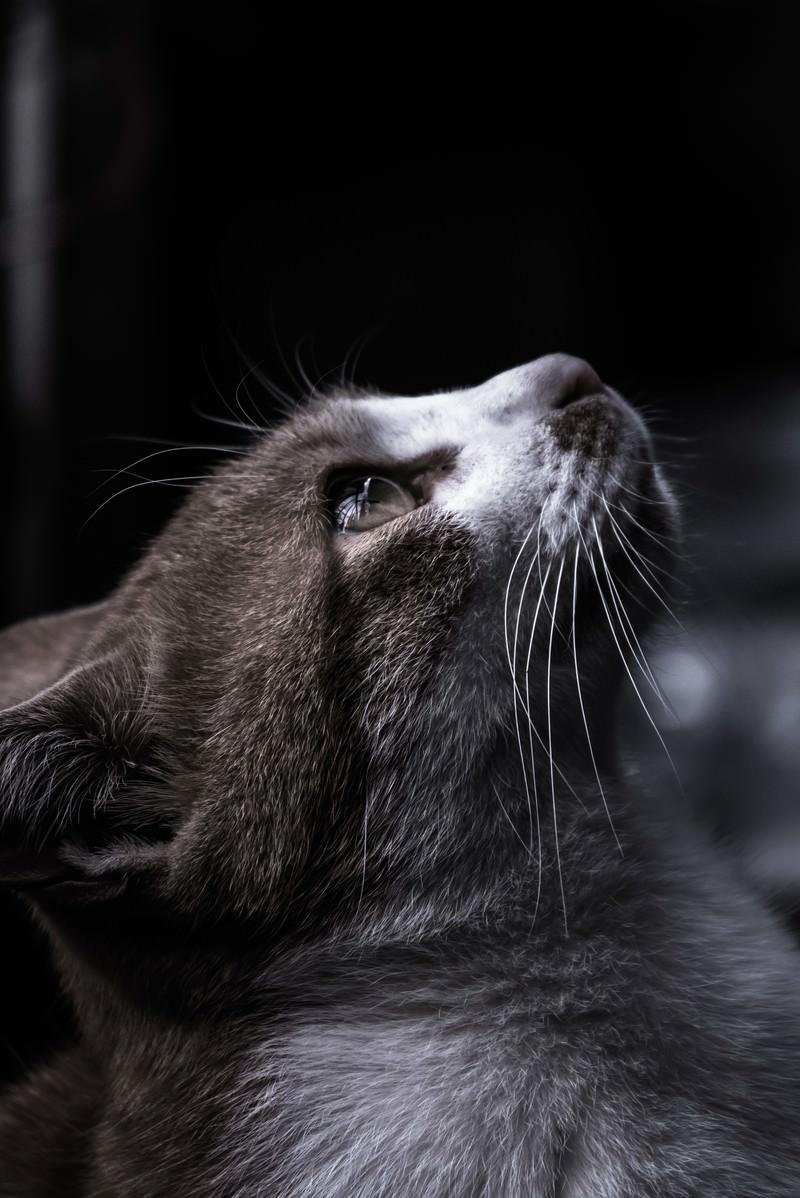 「天井を見つめる猫」の写真
