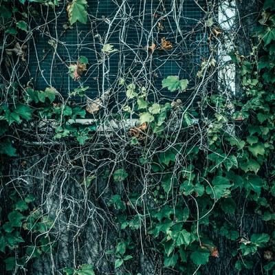 「蔦が生い茂る窓」の写真素材