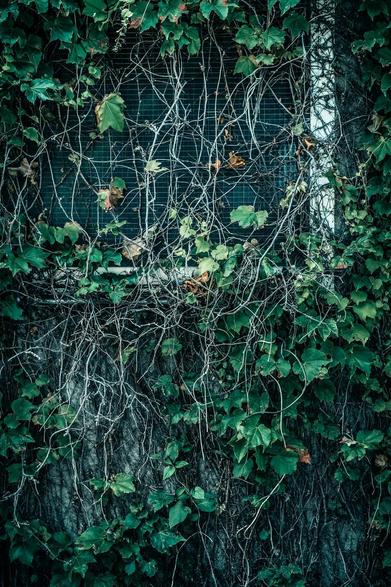 「蔦が生い茂る窓」の写真