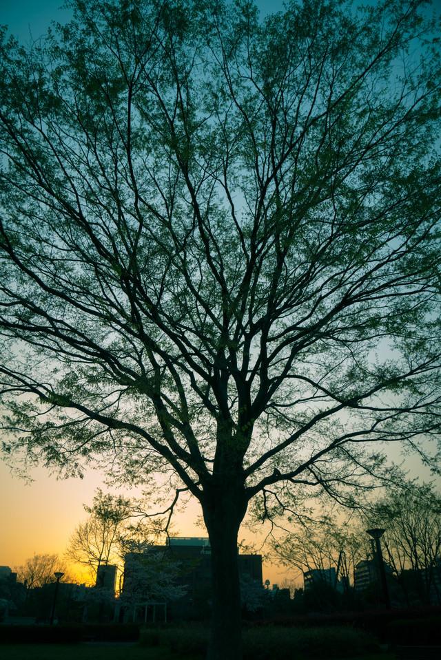 夕暮れと木のシルエットの写真