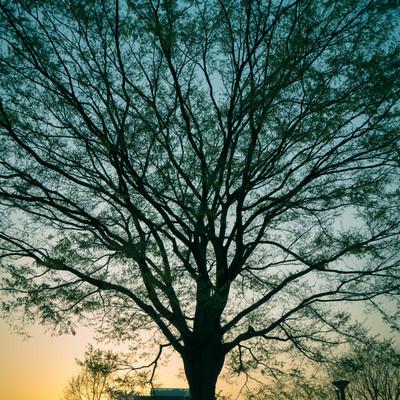 「夕暮れと木のシルエット」の写真素材