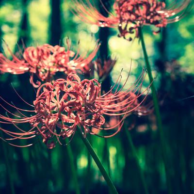 彼岸花と深い森の写真