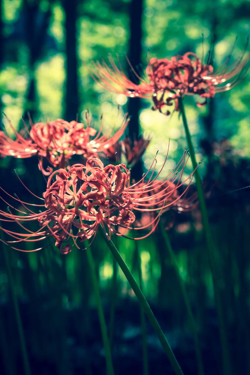 「彼岸花と深い森」の写真