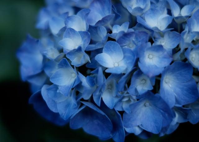 梅雨ときどき紫陽花の写真