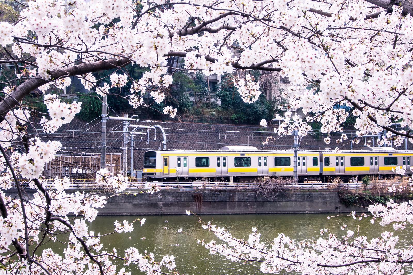「中央線と満開の桜」の写真