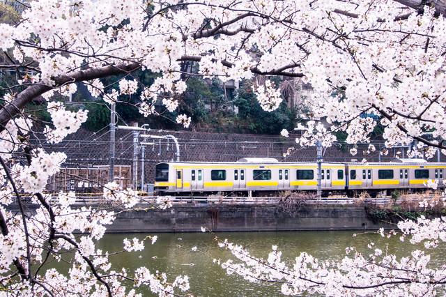中央線と満開の桜の写真