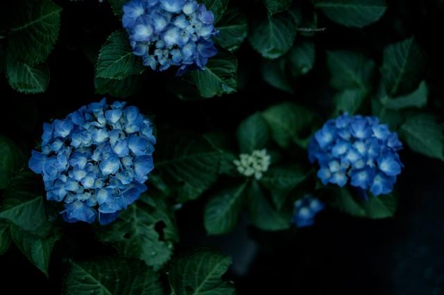 青いあじさいの花の写真