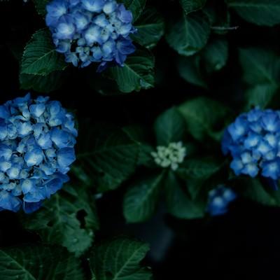 「青いあじさいの花」の写真素材