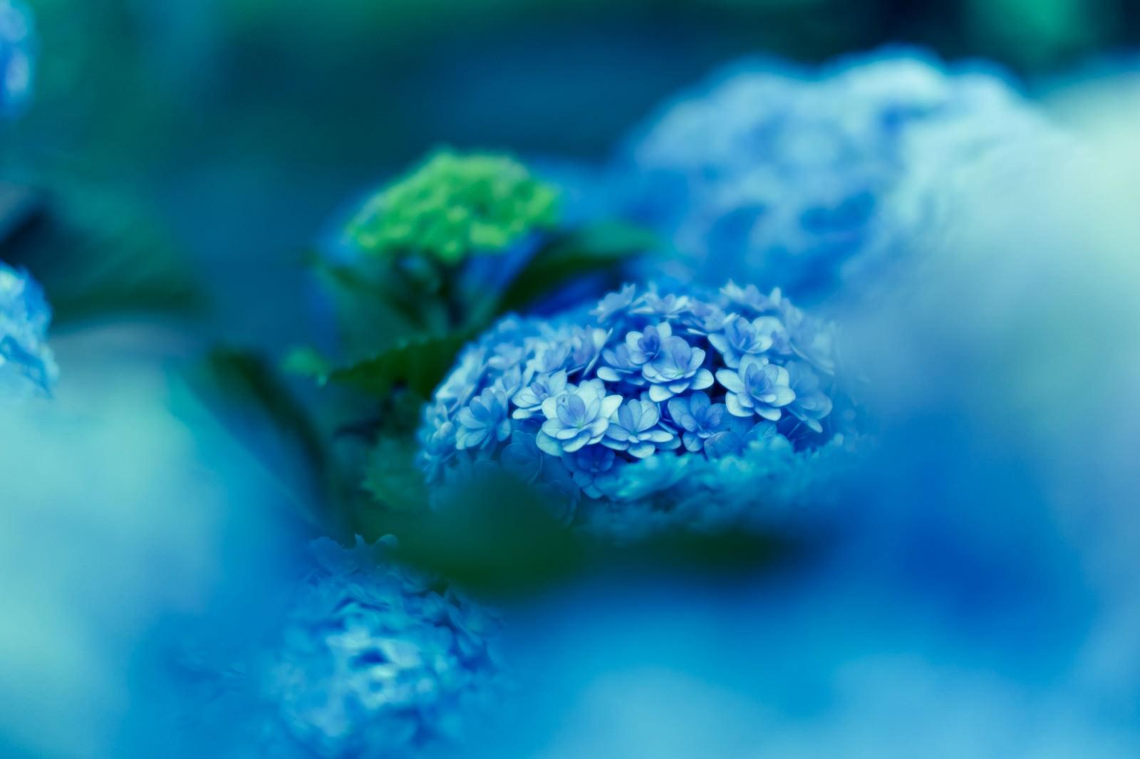 「紫陽花、青い世界」の写真