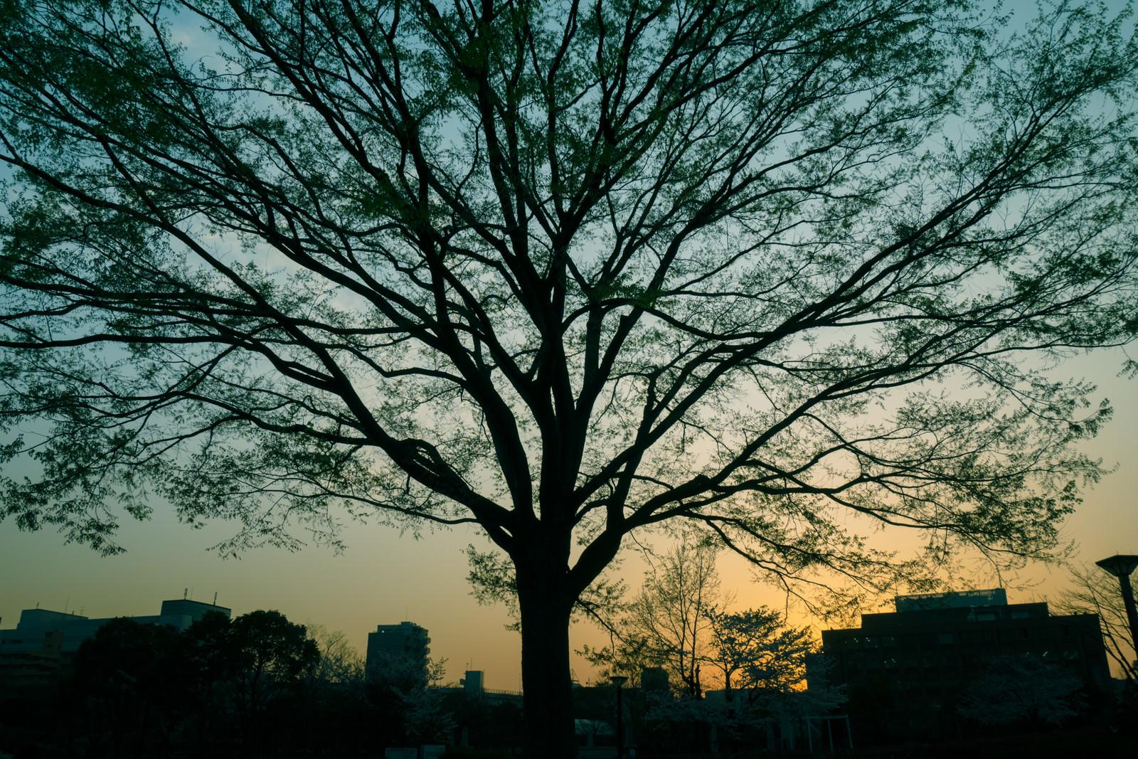 「夕暮れ時の都会と巨木」の写真