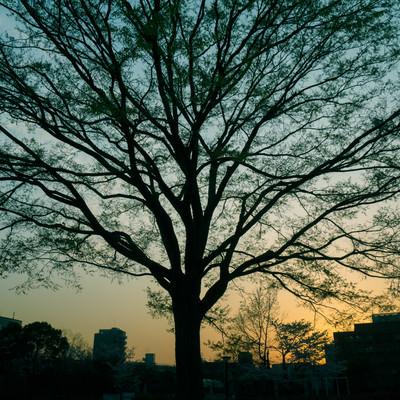 夕暮れ時の都会と巨木の写真