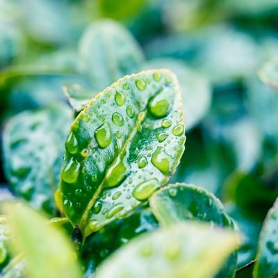 「雨上がりの葉っぱ」の写真素材