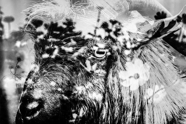花畑と山羊の写真