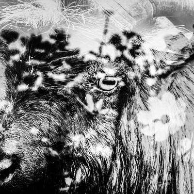 「花畑と山羊」の写真素材