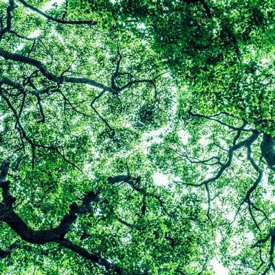 「見上げた木々(横)」の写真素材