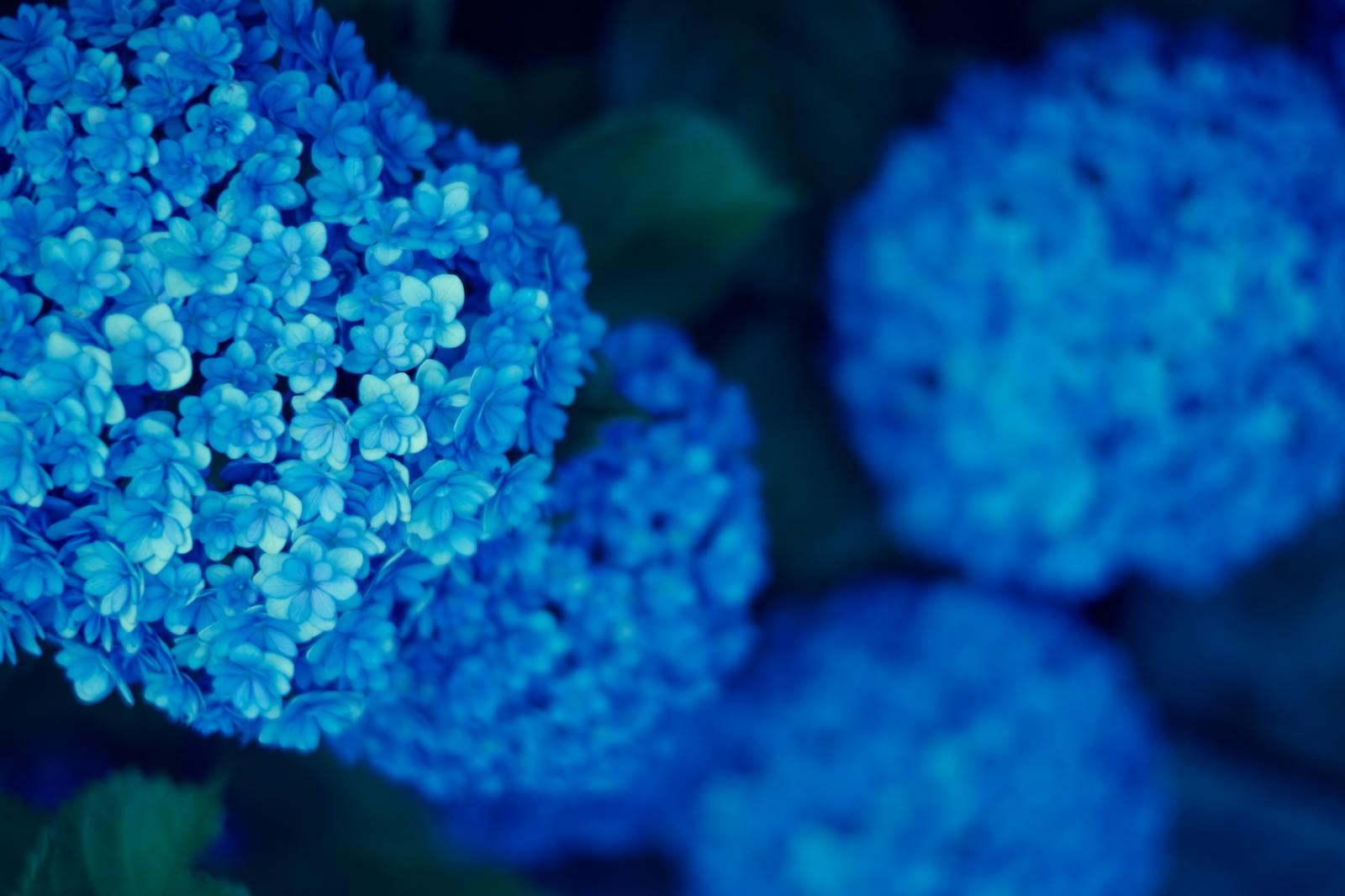「青いまんまる紫陽花青いまんまる紫陽花」のフリー写真素材を拡大
