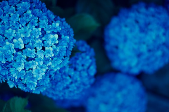 青いまんまる紫陽花の写真