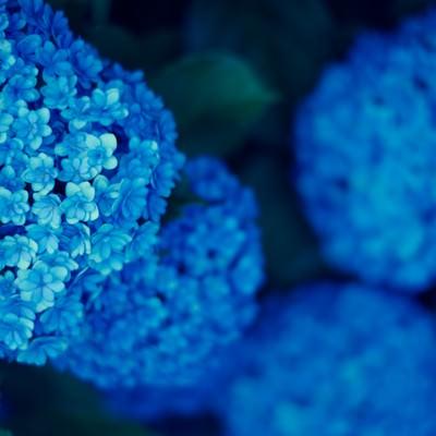 「青いまんまる紫陽花」の写真素材