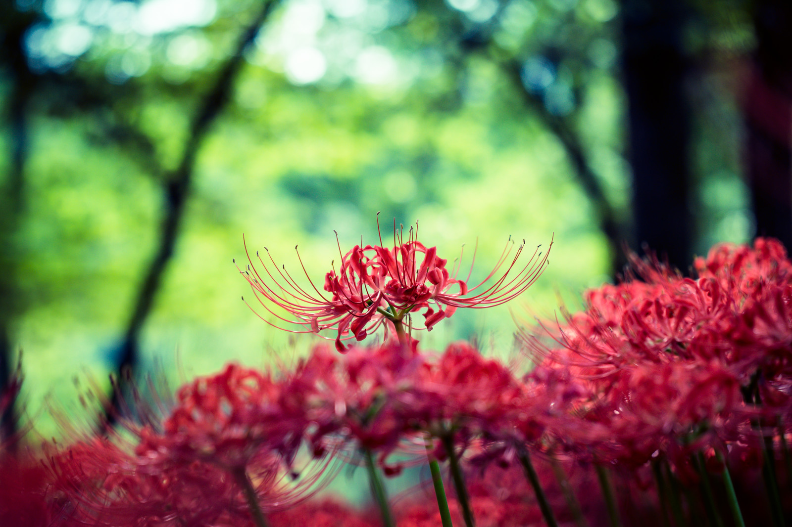 「鮮やかな彼岸花」の写真