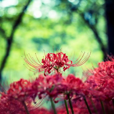 「鮮やかな彼岸花」の写真素材