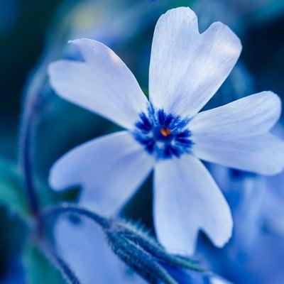 「芝桜の花」の写真素材