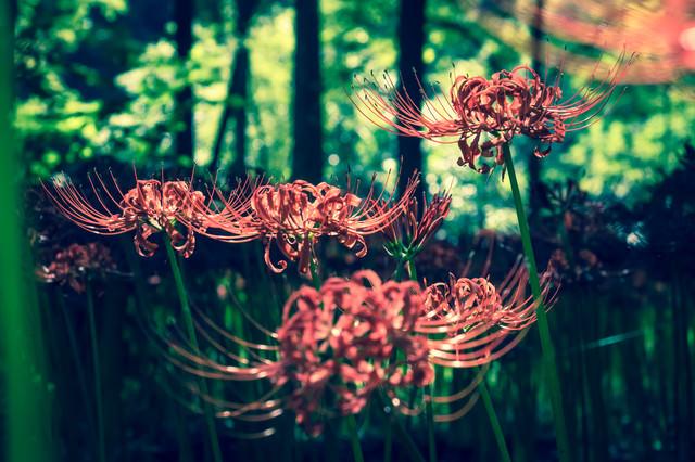 彼岸花の秋の写真