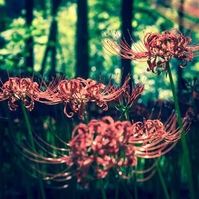「彼岸花の秋」の写真素材