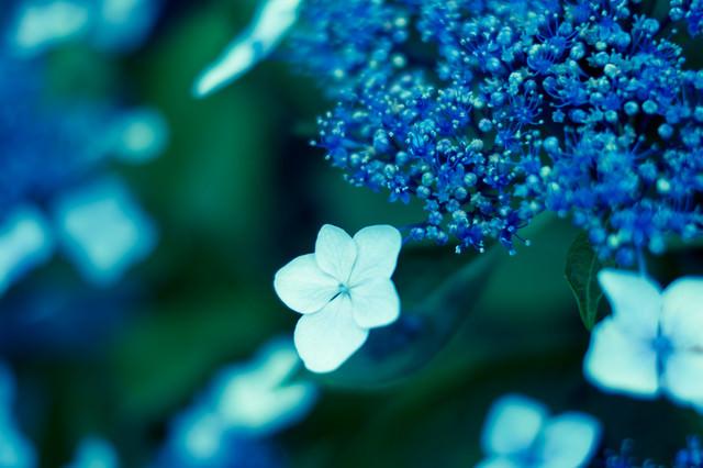 ガクアジサイの花の写真