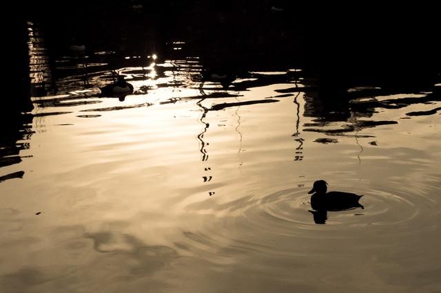 夕焼けの鴨の写真
