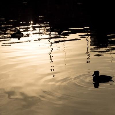 「夕焼けの鴨」の写真素材