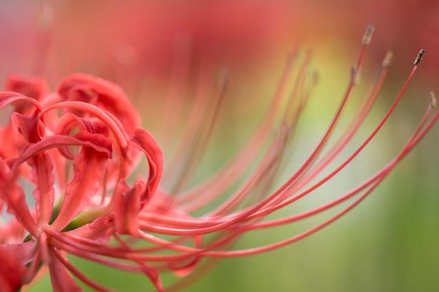 曼珠沙華の花びらの写真
