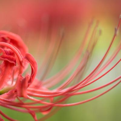 「曼珠沙華の花びら」の写真素材