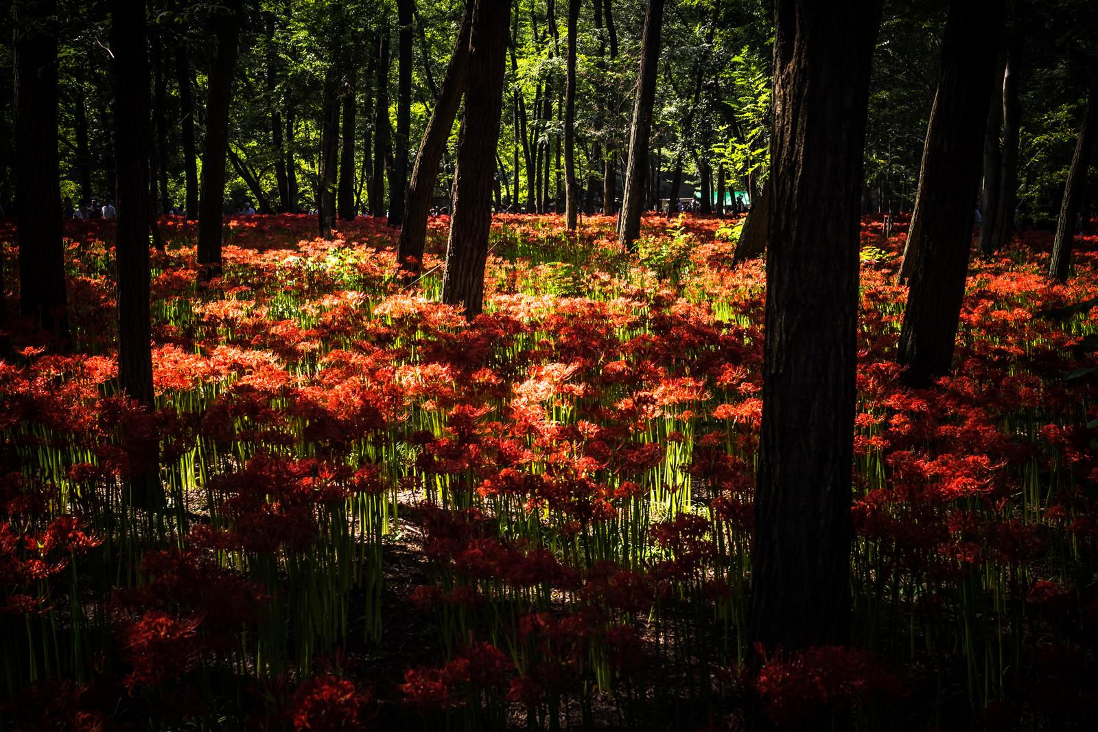 「光が降り注ぐ彼岸花」の写真