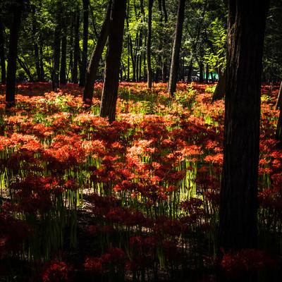「光が降り注ぐ彼岸花」の写真素材