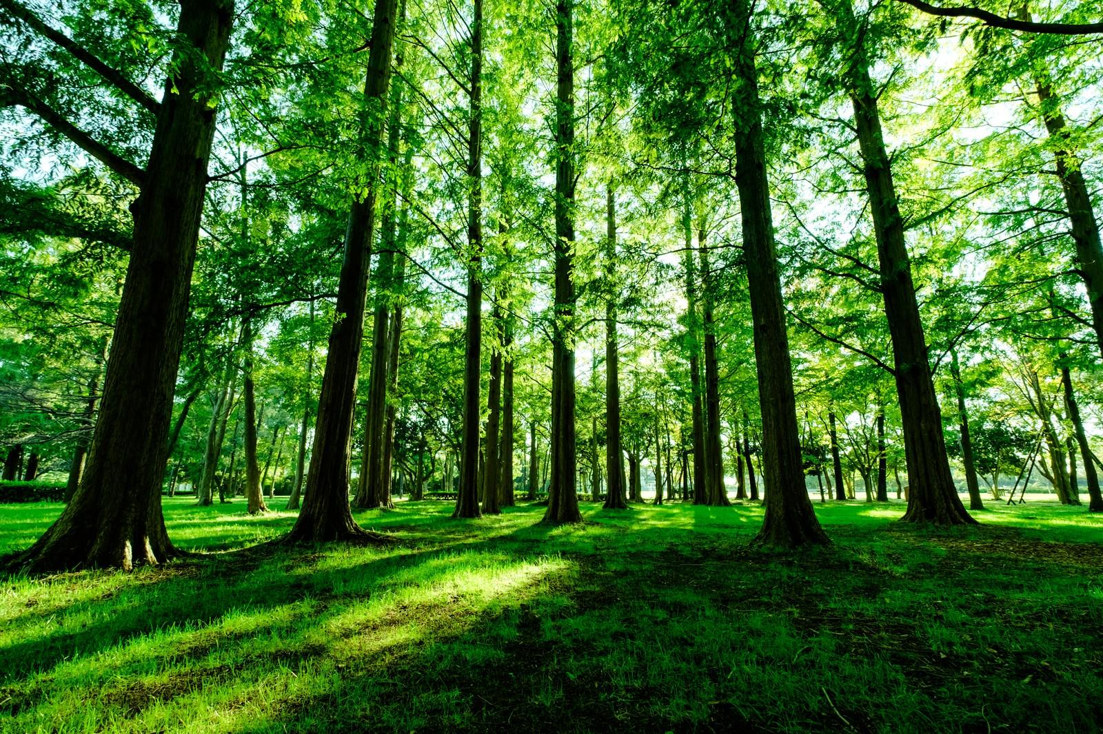 「新緑のメタセコイア(水元公園)」の写真