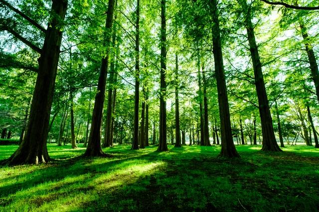 新緑のメタセコイア(水元公園)の写真