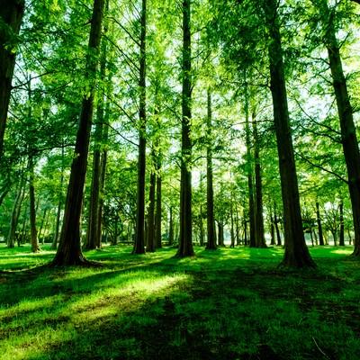 「新緑のメタセコイア(水元公園)」の写真素材