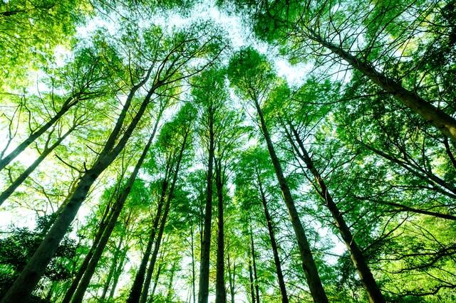 新緑のメタセコイアの写真