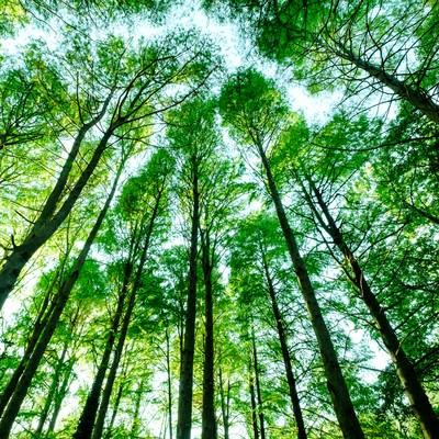「新緑のメタセコイア」の写真素材