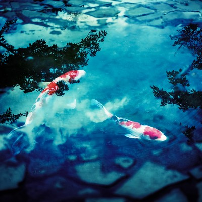 「水たまりと鯉(フォトモンタージュ)」の写真素材