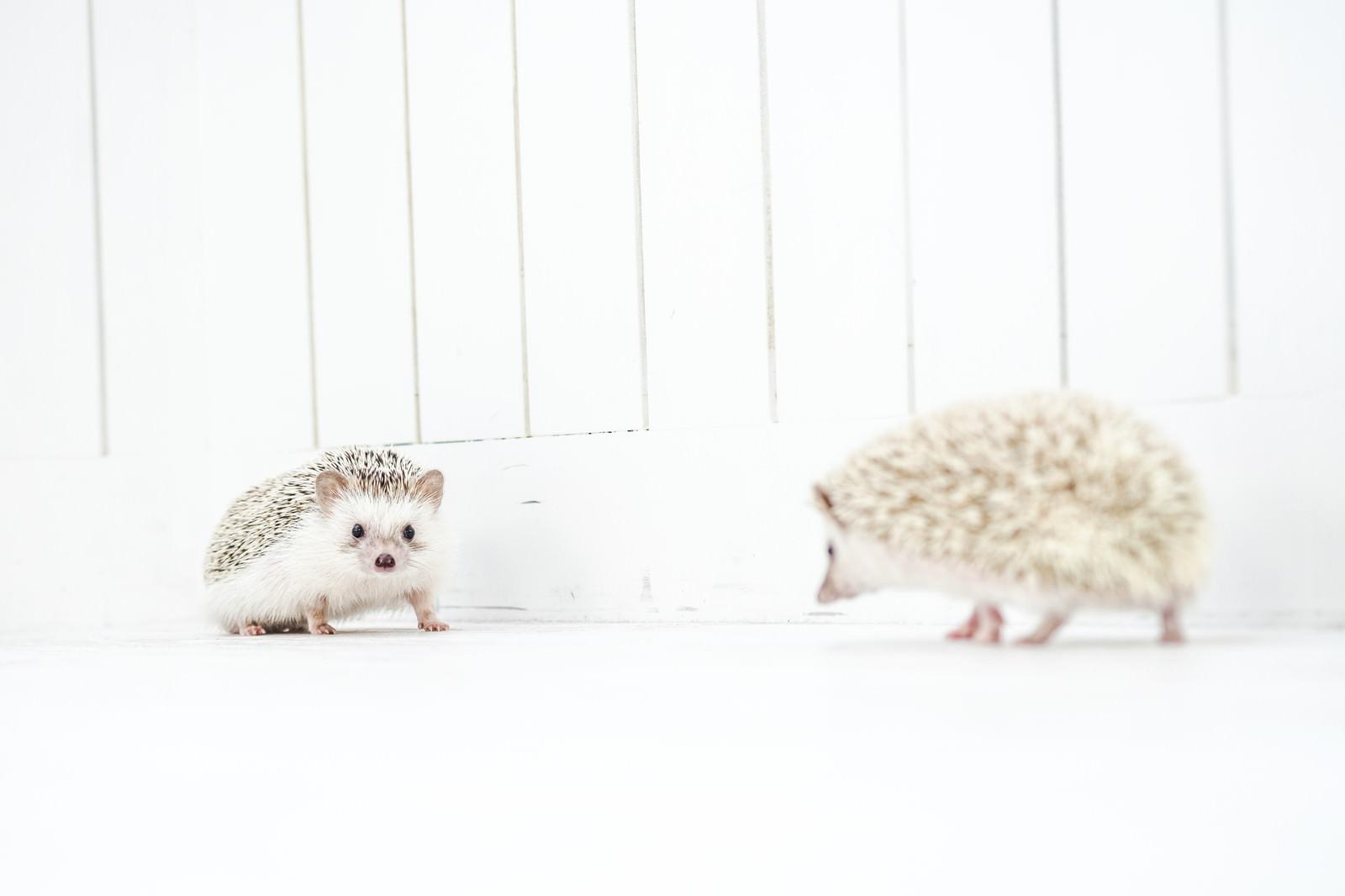 「落ち合うハリネズミ」の写真