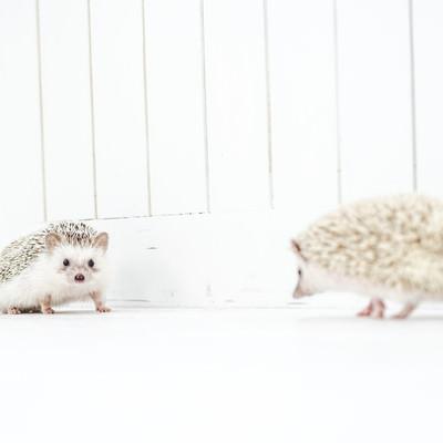 落ち合うハリネズミの写真