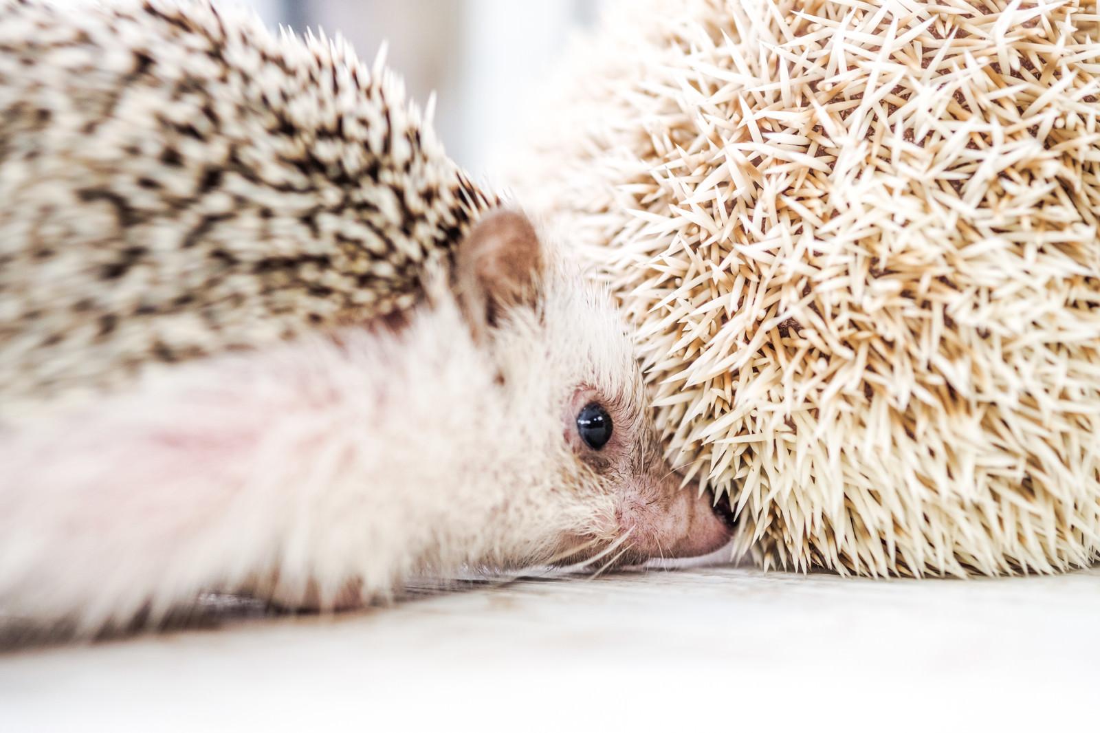「はりねずみのお尻を嗅ぐハリネズミ | 写真の無料素材・フリー素材 - ぱくたそ」の写真