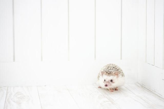 ハリネズミは壁の隅っこが大好きの写真