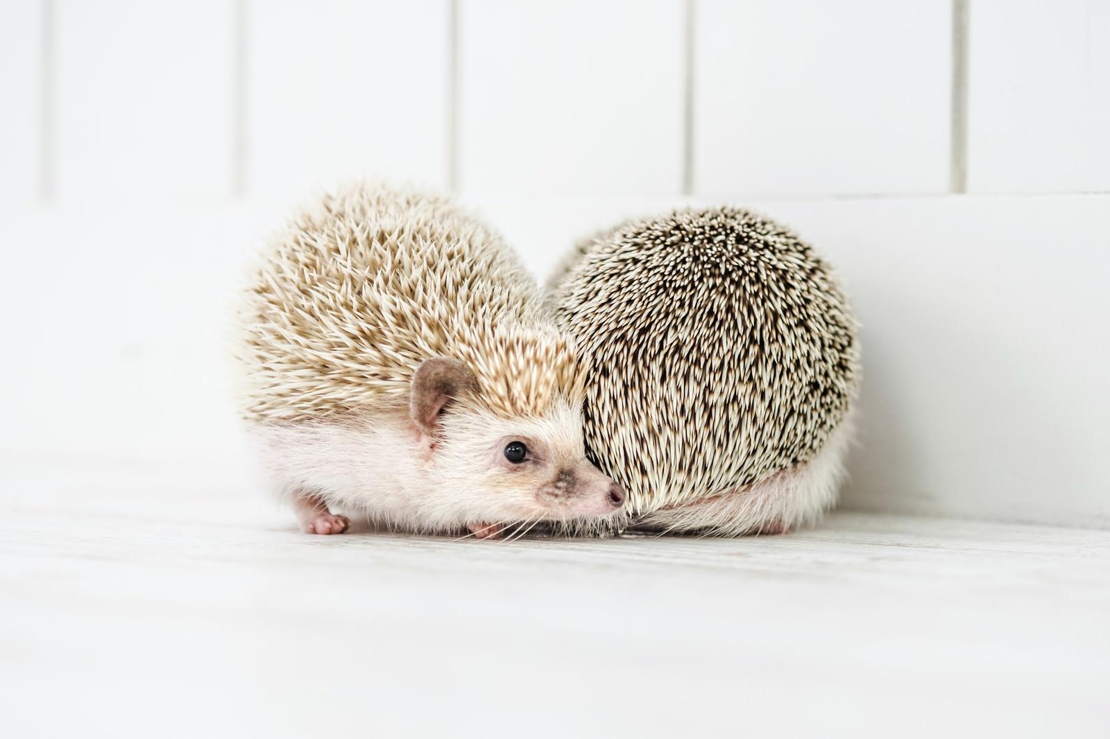 「壁際で求愛しあう二匹のハリネズミ」の写真